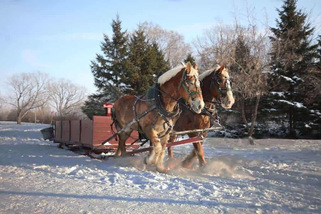 Winter Sleigh Ride Horses